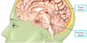 Diagram showing melatonin producing Pineal gland