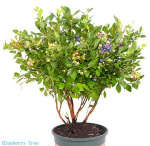 blueberry tree image